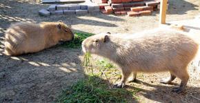 capybara4.jpg