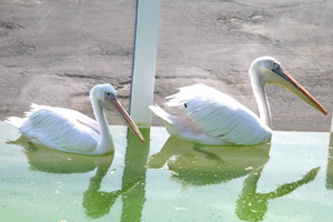 aqua-pelican.jpg