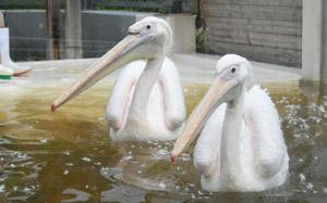 pelicanwalking2.jpg