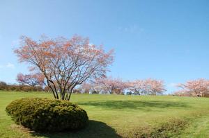 hauchikaede-spring.JPG