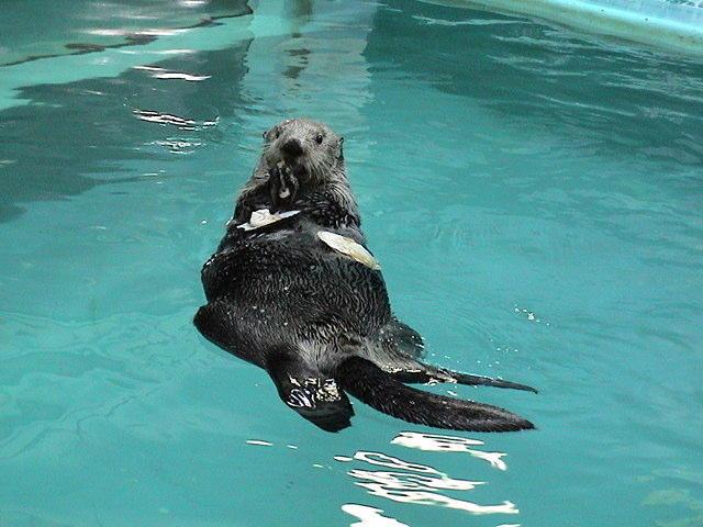 小樽の皆さんさようならラッコ水族館へ旅立ち